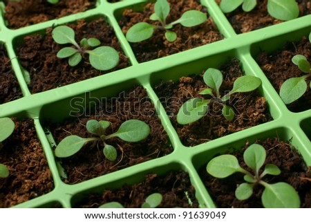 Petunia seedlings in coco in the cell tray (selective focus, macro) - stock photo