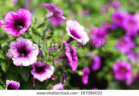 Petunia Trailing. Purple Flowers in the Garden. Springtime - stock photo