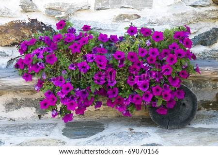Petunias - stock photo