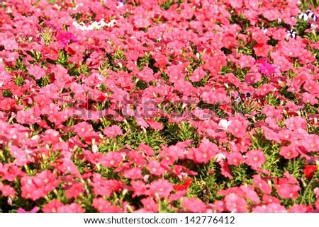 Petunias flower field - stock photo