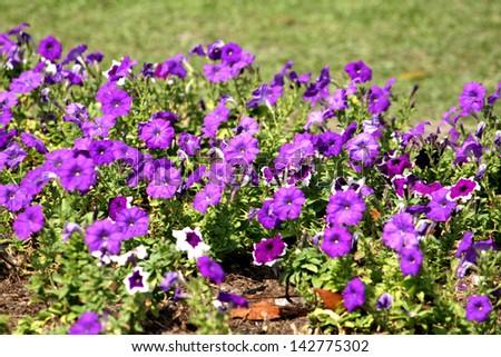 Petunias flowers - stock photo