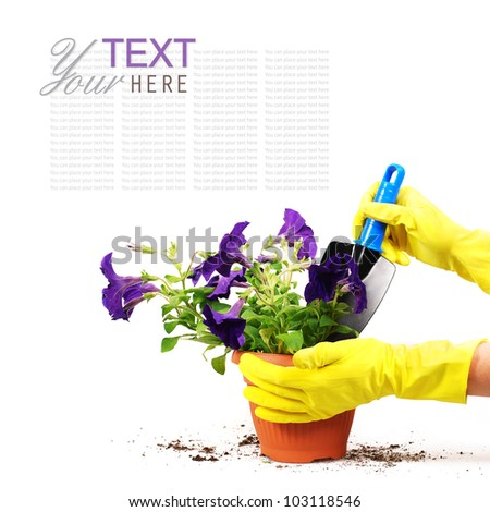 Petunias flowers in spot with woman hand and garden shovel - stock photo
