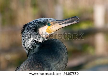 Phalacrocorax carbo (Great Cormorant) - stock photo