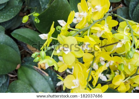 Phalaenopsis,closeup blooming yellow orchid flower tropical plants.