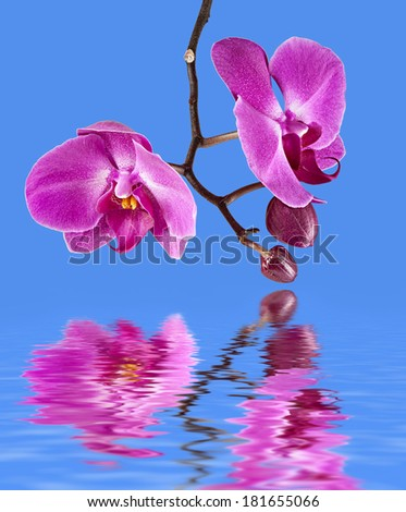 Phalaenopsis. Colorful pink orchid on blue background with water reflection - stock photo