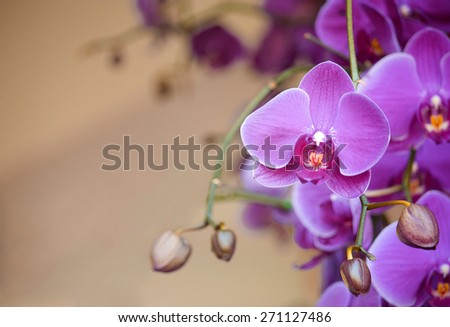 phalaenopsis orchid flower - stock photo