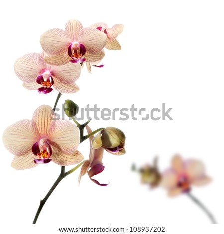 Phalaenopsis orchid; flower branch with buds - stock photo