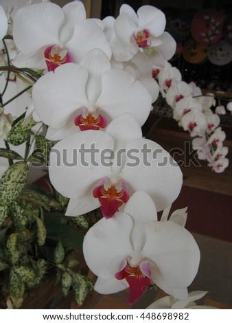Phalaenopsis orchid flowers. - stock photo