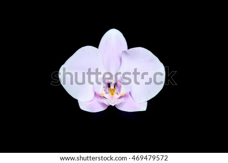 Phalaenopsis Orchid  isolated. Pink and white still life on black background.