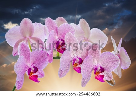 Phalaenopsis. Orchid with cloudy sky and sunlight - stock photo