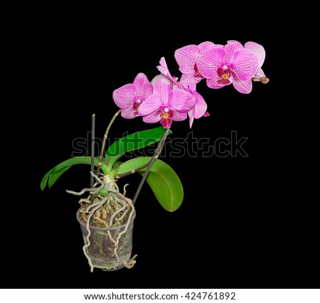 Phalaenopsis orchid with purple flowers on two stems in a transparent plastic flower pot on a dark background