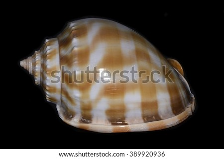 Phalium bandatum, common name the banded bonnet, a species of sea snail, a marine gastropod mollusk in the family Cassidae