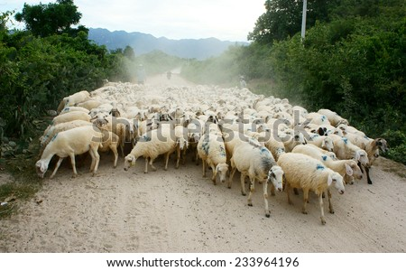PHAN RANG, VIET NAM- OCT 24: Asian farmer with sheep breeding, Vietnamese people drive flock of animal back stable, Ninh Thuan countryside raise herd of livestock as sheeps, Vietnam, Oct 24, 2014