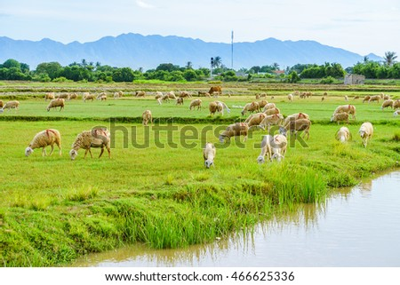 PHAN THIET-VIETNAM. AUG 07, 2016. A view of sheep on farm in Phan thiet-Binh Thuan, Vietnam