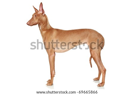 Pharaoh Hound in a rack on a white background