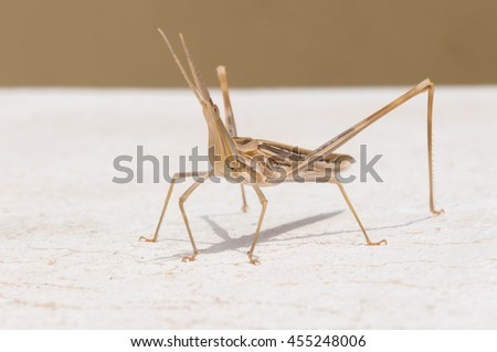 Phasmida grasshopper on the wall in a small town in Greece. In Spring you will find the Phasmida everywhere in the south of Crete - stock photo