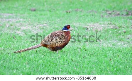 Pheasant (Phasianus colchicus) - stock photo