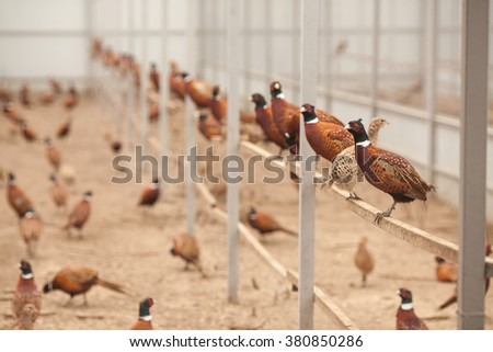 Pheasants on a poultry farm. Pheasants sitting on a crossbeam. - stock photo