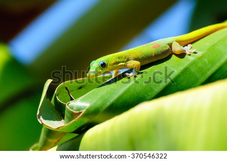 Phelsuma laticauda: A Gold Dust Day Gecko on a banana tree