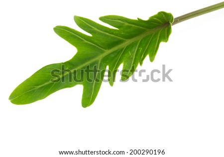 Philodendron leaf isolated on white background - stock photo
