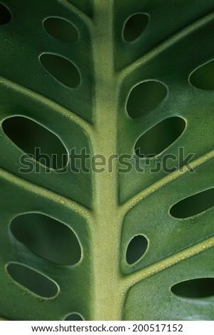 Philodendron / Monstera tropical leaf macro as a background. Hawaii, Maui, USA - stock photo