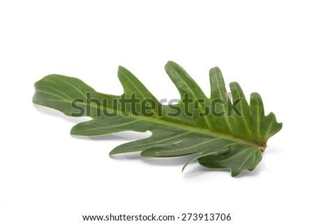 Philodendron Xanadu leaf isolated on white background - stock photo