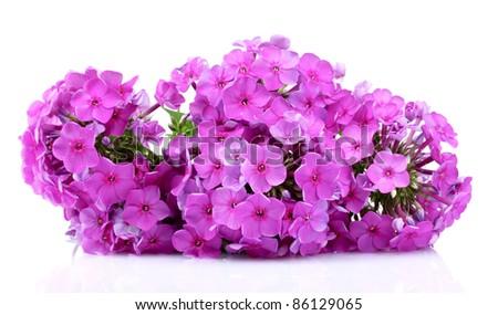 phlox flower isolated on white - stock photo