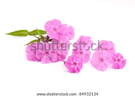 Phlox flowers - stock photo