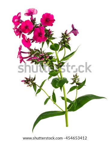 phlox on a white background - stock photo