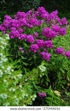 phlox paniculata garden phlox bloom stock photo 148385588 shutterstock. Black Bedroom Furniture Sets. Home Design Ideas