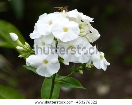 Phlox paniculata ,Monte Cristallo, is a species of flowering plant in the family Polemoniaceae.