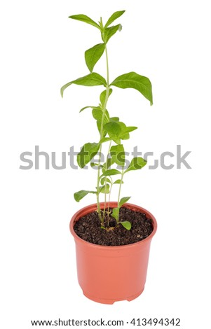 Phlox, sprouts in a plastic pot, isolated on white background - stock photo