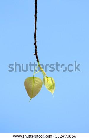 Pho leaves - stock photo