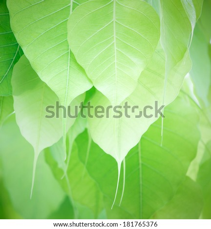 pho or bodhi leave - stock photo