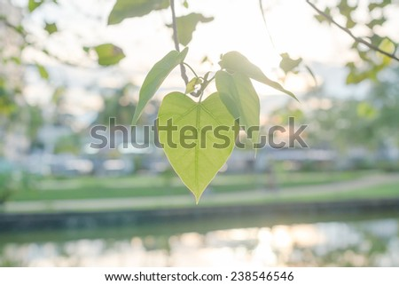 pho or bodhi leave with sunlight. - stock photo