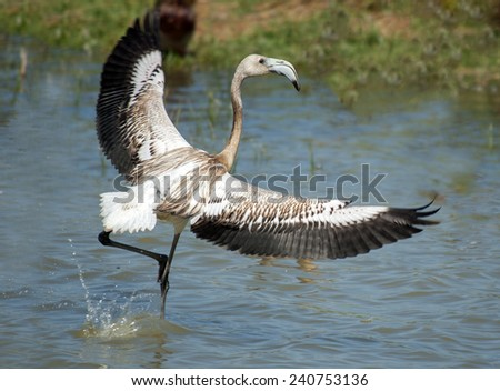 Phoenicopterus ruber,  young flamingo, in natural enivironment - stock photo