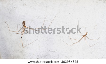 Pholcus phalangioides. Male and female long-legged spider. - stock photo