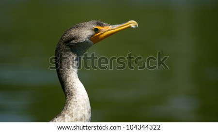 Phot of double crested cormorant taken at Goldenwest Park in Huntington Beach, California