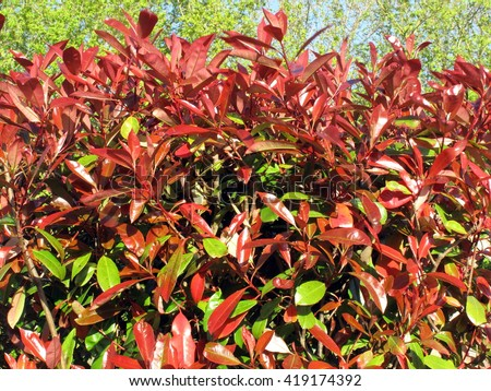 Photinia commonly known as Red Robin, which is a flowering perennial evergreen shrub - stock photo