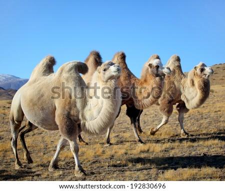 Photo camels against mountain. Altai mountains. Mongolia - stock photo