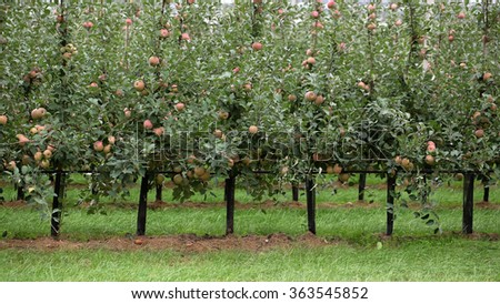 Photo closeup of beautiful apple garden full of ripped red apples trees in rows big fruit heavy branches green leaves and grass on agrarian background, horizontal picture - stock photo