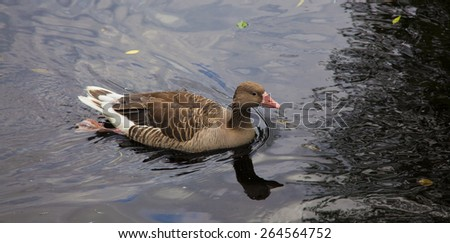Photo duck swimming in the lake - stock photo
