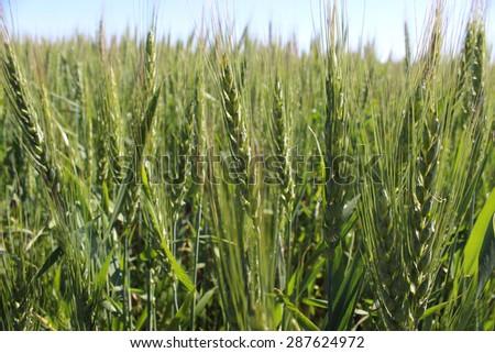 Photo Field unripe green ears of rye on the sky background - stock photo