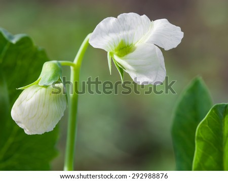 Photo flowering of sweet pea closeup outdoors