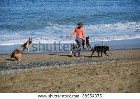 photo lady walker at baker beach walking dogs - stock photo