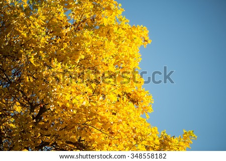 Photo low angle view of top branches of golden-leaved maple trees with beautiful sun-illuminated autumn yellow heavy foliage over bright blue sky background, horizontal picture - stock photo