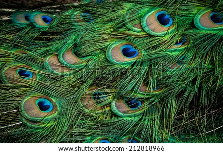 photo of a beautiful peacock in a zoo - stock photo