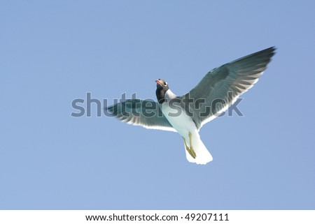Photo of a black-headed gull in flight. - stock photo