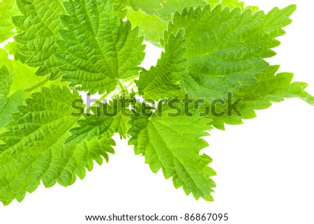 Photo of a bush of the nettle isolated on a white background (small depth of sharpness) - stock photo