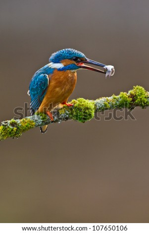 Photo of a Common Kingfisher (Alcedo atthis) adult male perched with a minnow in its beak - stock photo
